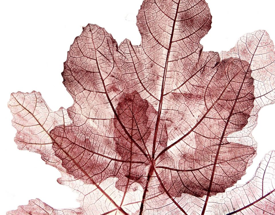 Stampe botaniche vite rossa